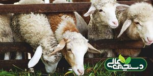 کمبود ویتامین A در گوسفند و بز