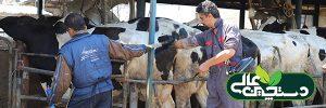 تولید خوراک دام سنگین ، بیش از 10 نوع کنسانتره گاو شیری