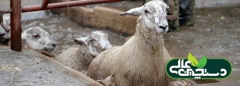 مدیریت حمام کنه در پرورش گوسفند