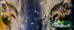 مگسهای شاخی خون و شیر گاوها را میمکند