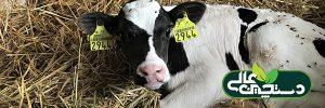 پرورش گوساله و تلیسه و 3 دوره مهم در پرورش آنها