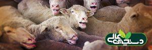 استرس گرمایی در گوسفند و مدیریت آن