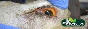 کم خونی در گوسفند و بیماری بطری فکی
