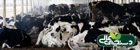 تجمع گاوها در بخشی از بهاربند علت دارد